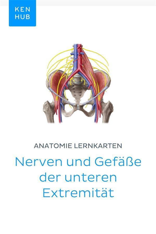 Anatomie Lernkarten: Nerven und Gefäße der unteren Extremität ...