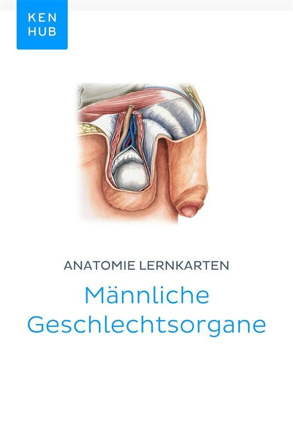 Anatomie Lernkarten: Männliche Geschlechtsorgane, Kenhub | Ebook ...