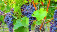 """Analisi economico-finanziaria di un'azienda operante nel settore vinicolo: la società """"azienda vinicola cantele s.r.l.""""  - copertina"""
